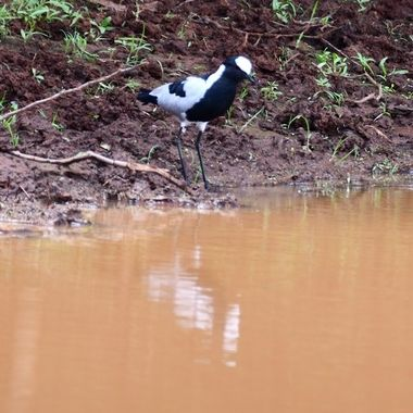 Blacksmith Lapwing observed at Stofdam in Mokala National Park.