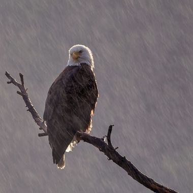 Bald Eagle DSC03375