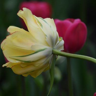 This one tulip looked every bit as pretty from behind