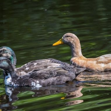 These ducks hung around in their pond all day, occasionally  doing a swim by so I took a couple of photos an the water was so interestingly coloured and rippled.