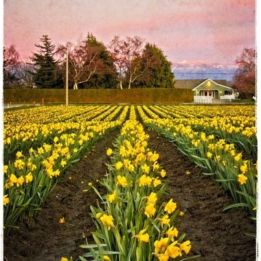 The moon was rising over RoozenGaarde in the Skagit Valley of Washington. The daffodil fields come first before the tulip fields in April.  The image is slightly textured to give a painterly look.