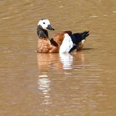 Female South African Shelduck observed on Stofdam in Mokala National Park.