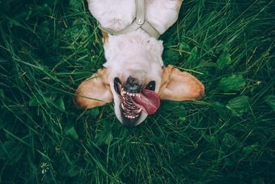 Biggy the beagle