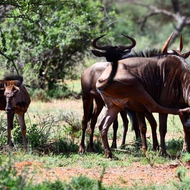 Blue Wildebeest landscape in Mokala National Park.