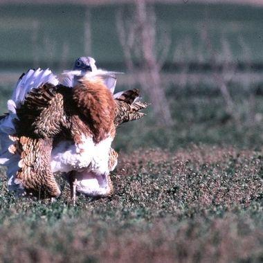 Macho de Avutarda (Otis tarda) en celo. En Abril, esta ave esteparea,entra en celo y el macho para impresionar a la hembra, le da la vuelta a las plumas hasta parecer una bola de nieve. Original,diapositiva digitalizada