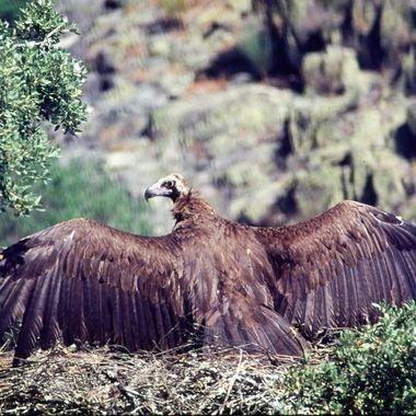 Buitre negro (Aegypius monachus), en el nido.Es el ave de mayor envergadura de Europa. En actitud de proteger el pollo de los rayos de sol