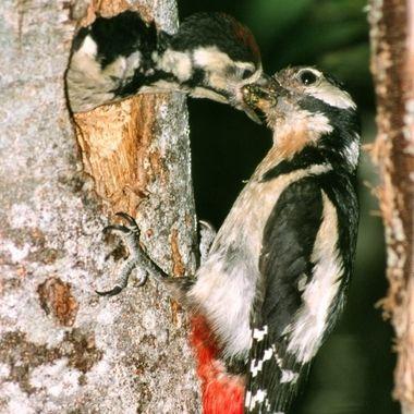 Pico picapinos (Dendrocopos major). Ave troglodita del bosque europeo, cebando al pollo, que sale a buscar el alimento con relativa violencia.