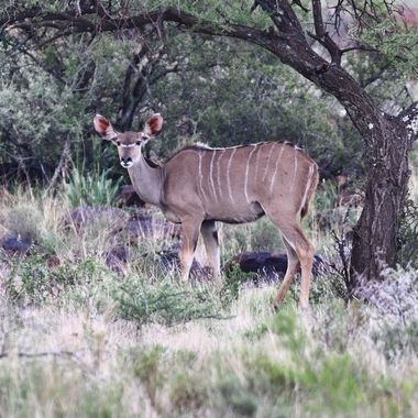Kudu Cow observed in Mokala National Park.