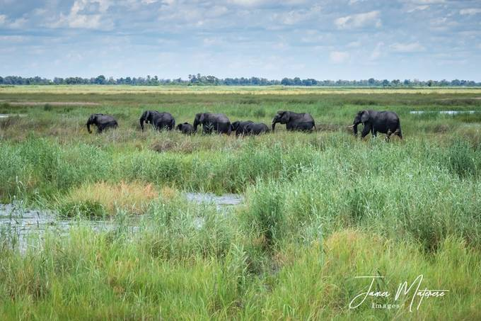 During breakfast in Botswana this herd of elephants put on a show running through the wetlands to the forests across the way searching for food and shade.