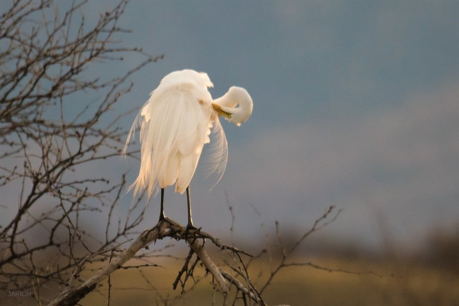 Snowy Egret takes time to prune itself just as the last bit of daylight is fading away..