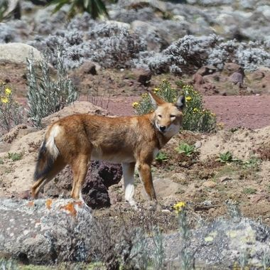 The Ethiopian Wolf is an endangered species with an estimated 500 left in  2019. It is found in the highlands of Ethiopia