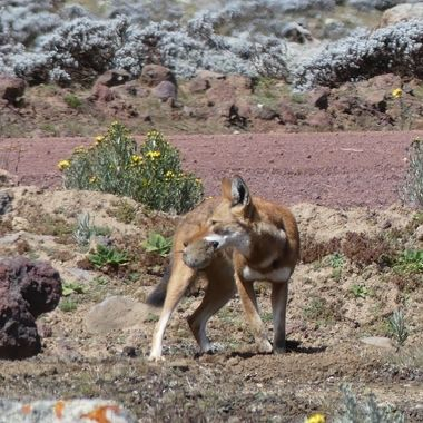 The Ethiopian Wolf is an endangered species with an estimated 500 left in  2019. It is found in the highlands of Ethiopia. This wolf was hunting and caught a giant mole rat
