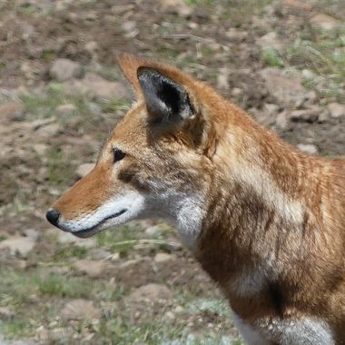 The Ethiopian Wolf is an endangered species with an estimated 500 left in  2019. It is found in the highlands of Ethiopia.