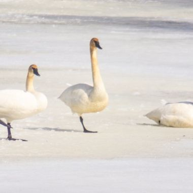 These three trumpeter swans rested on the ice along the Rainy River before continuing there journey north