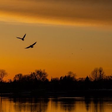 one eagle had something the other one wanted as they flew along the Rainy River at sunset