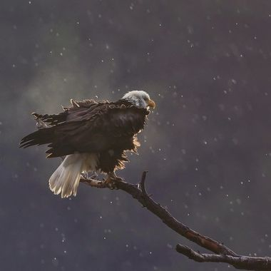 Bald Eagle DSC03313
