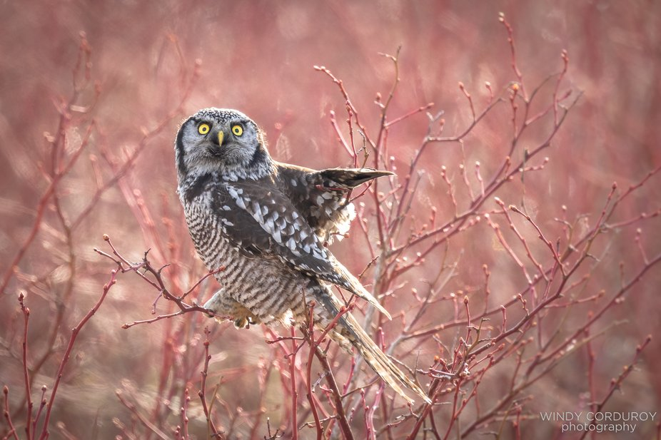 What?!!! No toilet paper in any stores?! Yup, this Northern Hawk Owl can't believe it either. N...