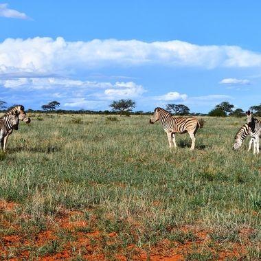 Burchell's Zebra landscape in Mokala National Park.