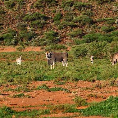 Landscape with eland, kudu, Burchell's zebra and springbuck.