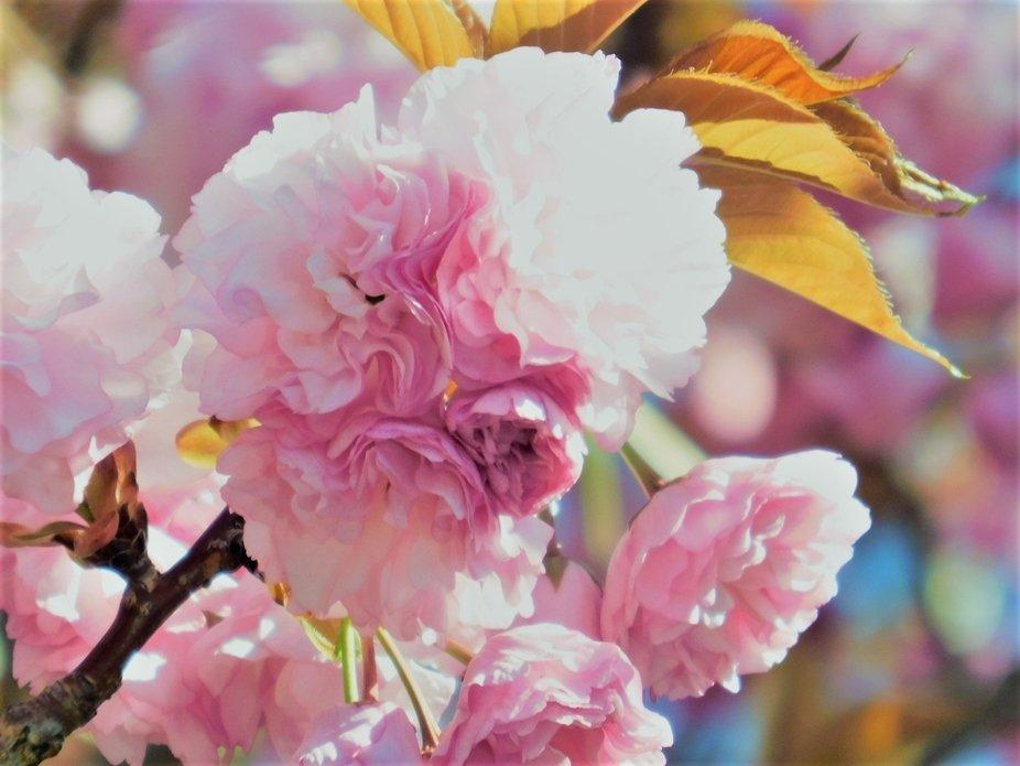 Amazing Cherry Blossoms