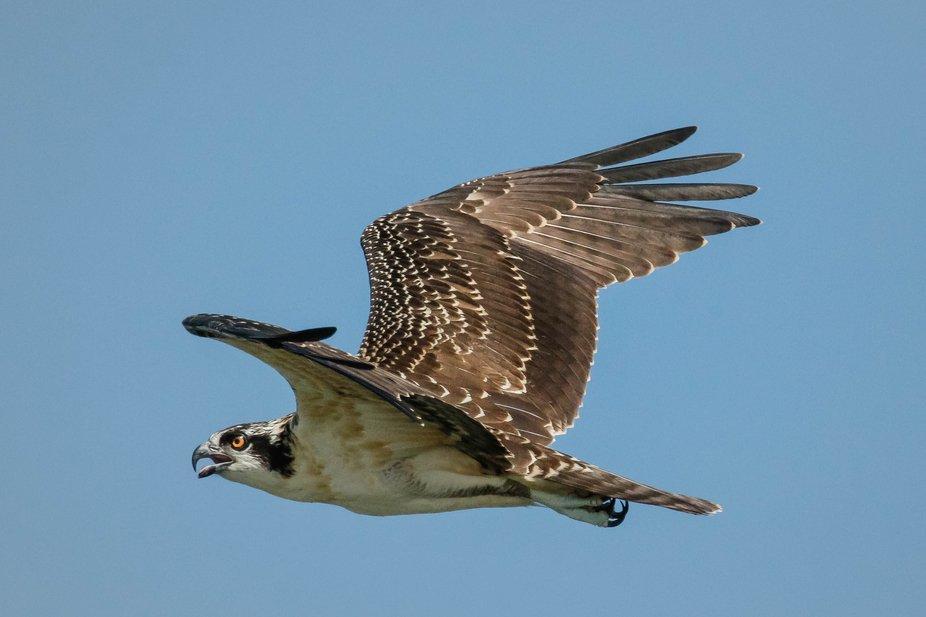 Juvenile Osprey Flying