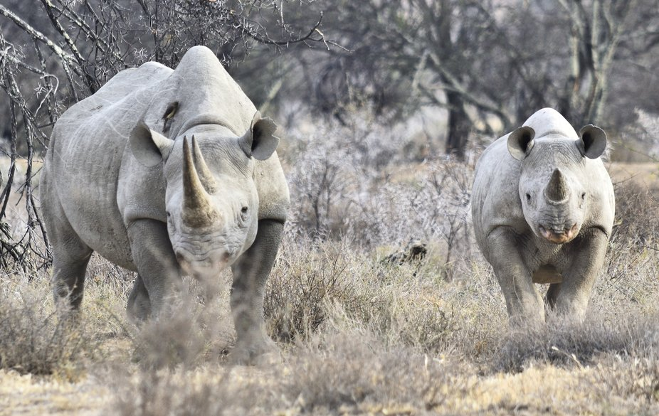 Black rhinoceros cow and calf observed in Mountain Zebra National Park.