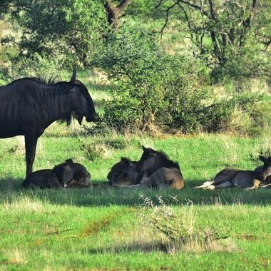 Blue Wildebeest cow and young in Mokala National Park.