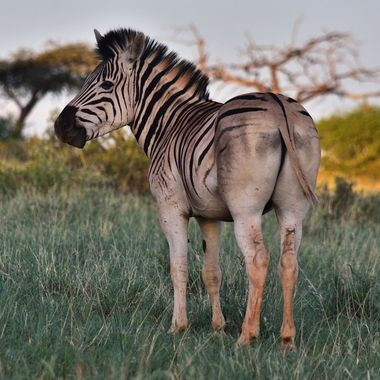 Burchell's Zebra observed in Mokala National Park.