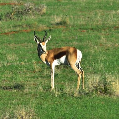Springbok ram observed in Mokala National Park.