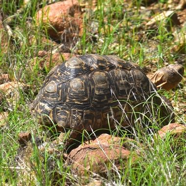 Leopard Tortoise observed in Mokala National Park.