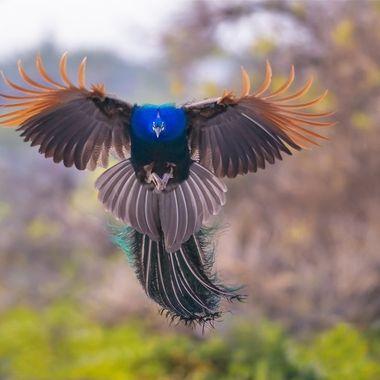 Peacock Gliding DSC09432