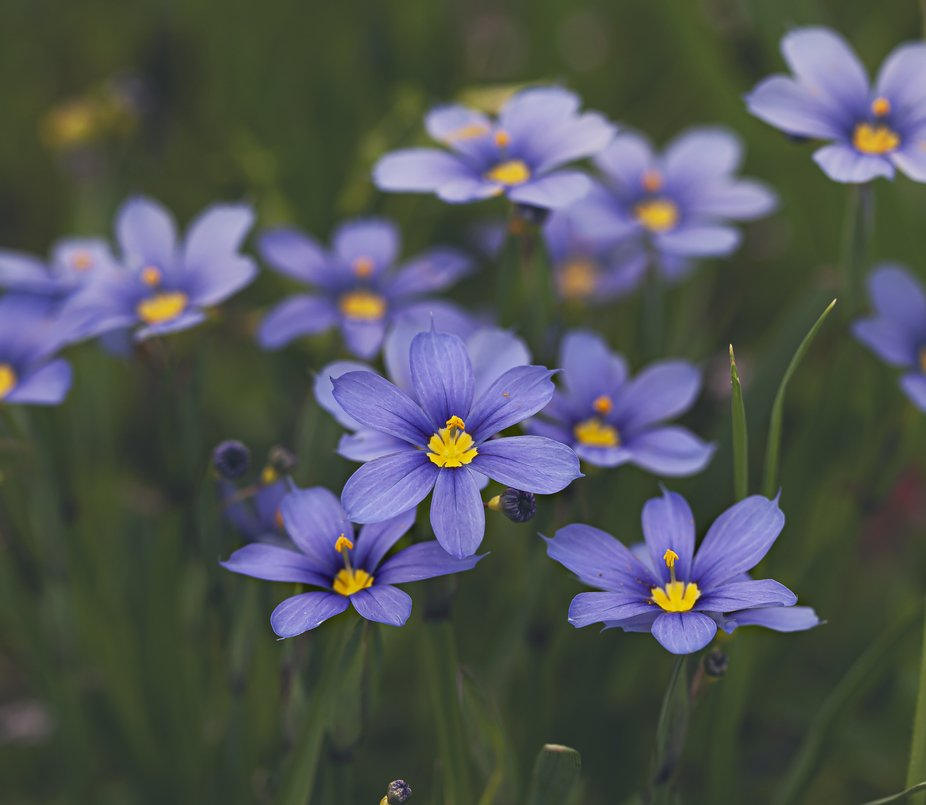 This is another Texas wildflower that grows in the spring time.