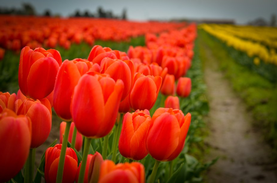 2019 Tulip Fields