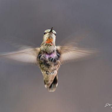 Hummingbird DSC02345