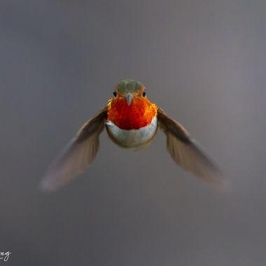 Hummingbird DSC02947