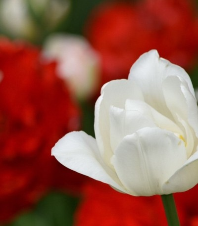 A beautiful white double tulip with a contrasting crimsom red background