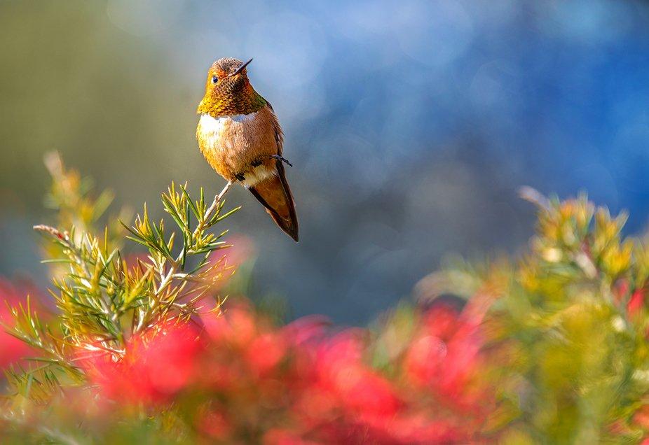Rufus hummingbird2