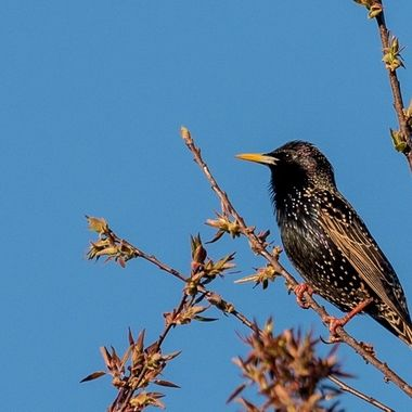 This Starling sitting in the top of a native Cherry Tree in the evening _DSC7033