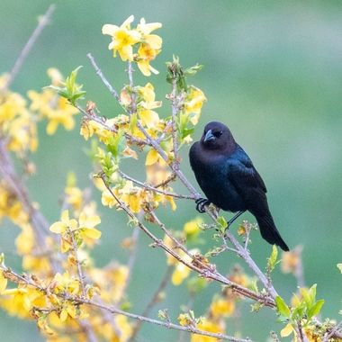 Male Cowbird in the waning Forsythias.  _DSC7075