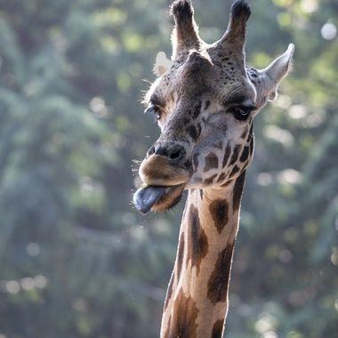 Lulu, Seattle Woodland Park's Zoo's baby Giraffe last year.