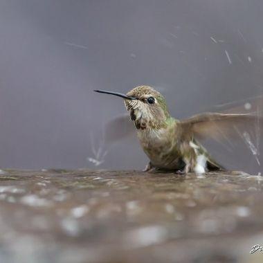 Hummingbird DSC03339