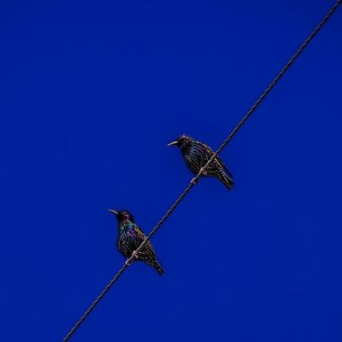 starlings chatting