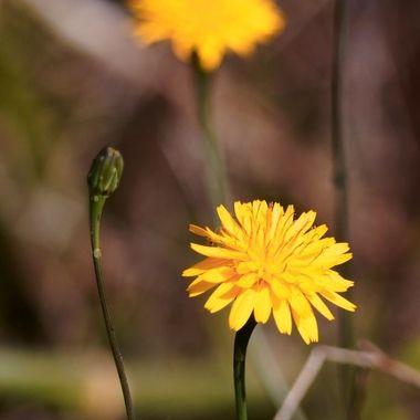 Flora Gialla