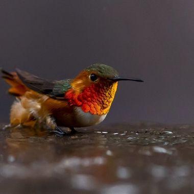 Hummingbird DSC02881