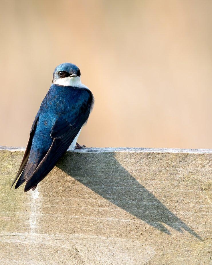 Posing swallow