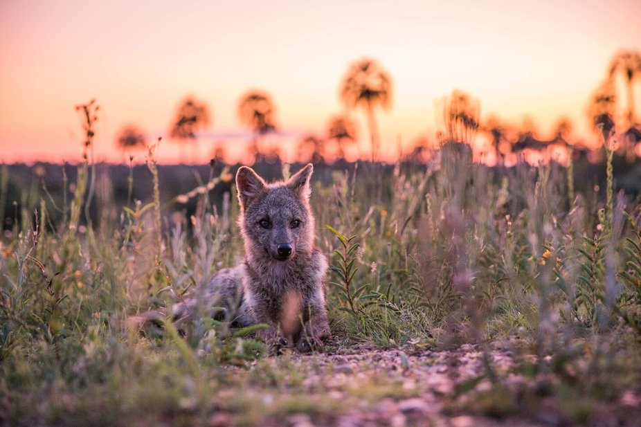Fox at sunset