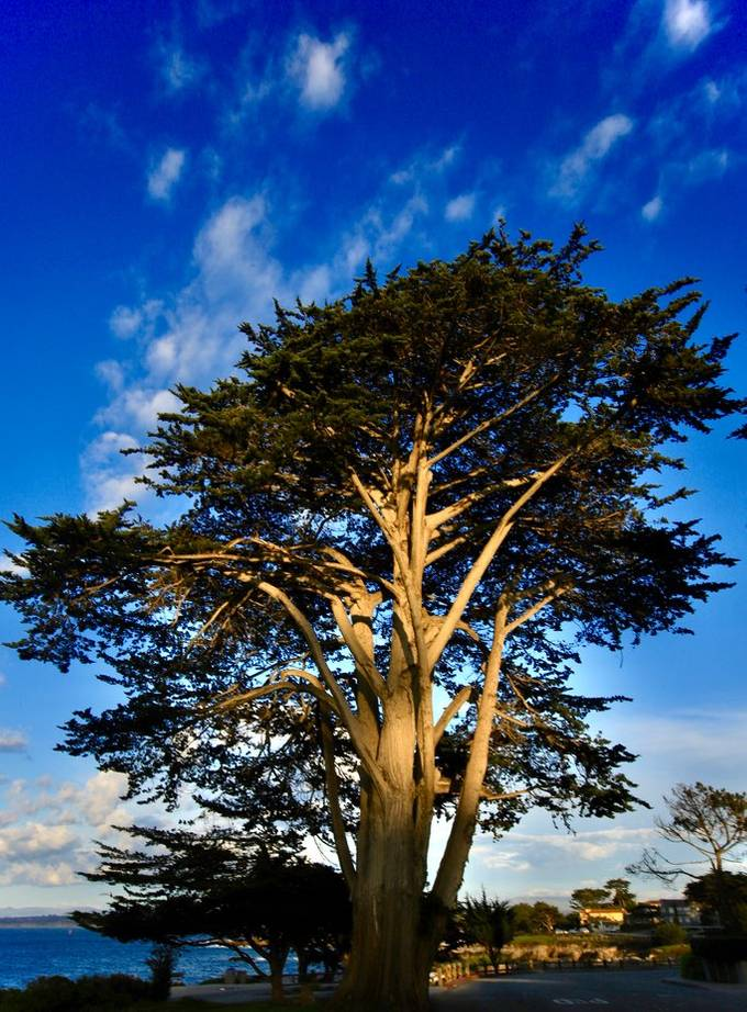 Cypress Towering.    One ofvthe larger free standing Crypress Trees along the central Ca coast in Monterey Bay