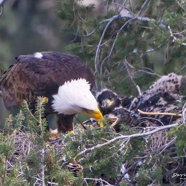 Bald Eagle mom feeding 4-week old eaglets. This was taken slightly lower than eye level at more than close to 1000 ft away. (Sony A9, Sigma MC11, Canon 600 mm f/4 II, Canon 2x II + Canon 2x III extender, total focal length 2400 mm))