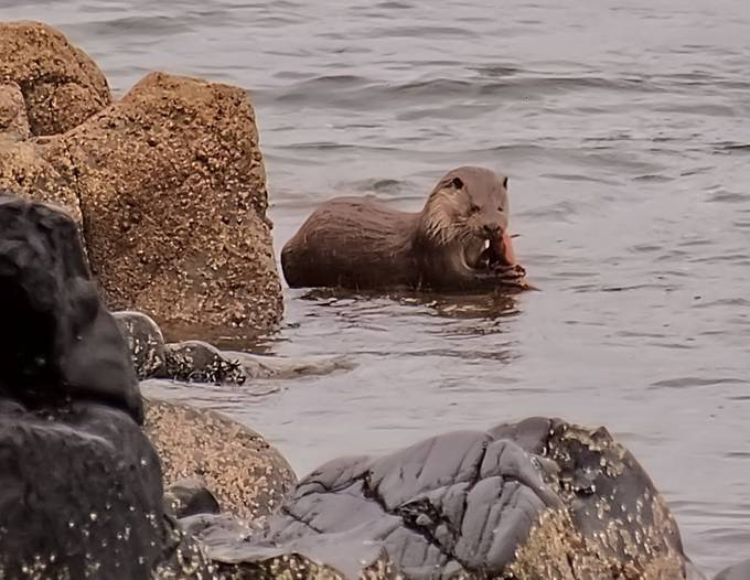 Closer crop of the Sea-Otter captured on a stormy Febuary Half Term trip to The Isle of Arran.