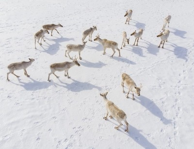 Caribou from above